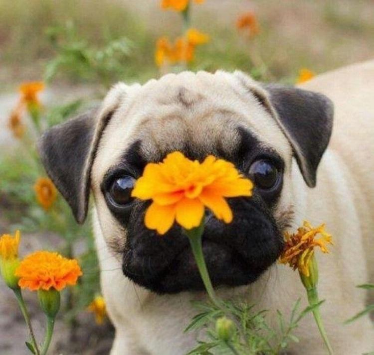 pugflower